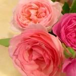 生徒さんからお庭で育てた薔薇を頂きました。 2016/05/12