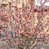 パリの桜。From Paris 2017/3/25
