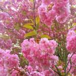 パリは八重桜が満開です。From Paris 2017/4/2